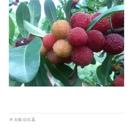紅河石屏縣石屏楊梅 1.5 - 2cm