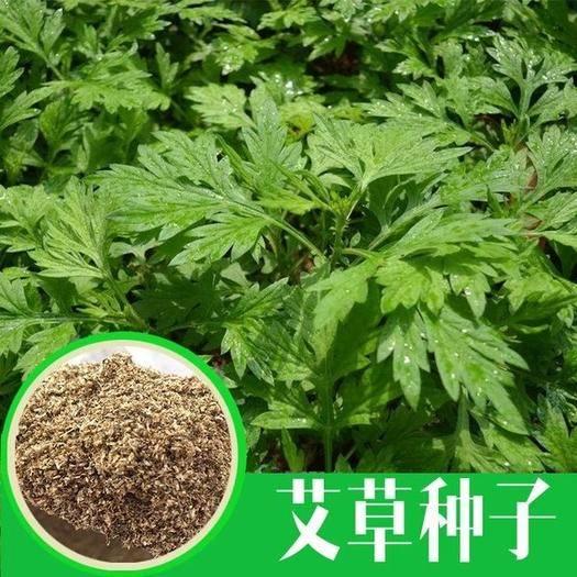 徐州新沂市艾草种子