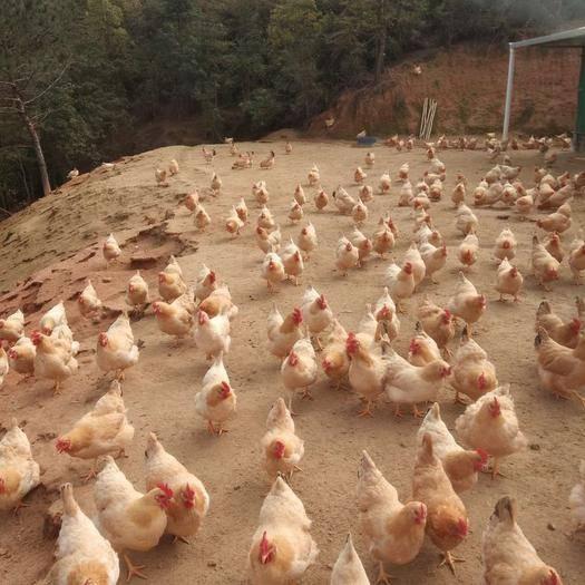 龍川縣土雞 2-3斤 母