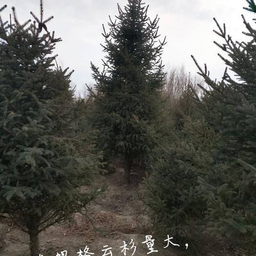 武威青海云杉