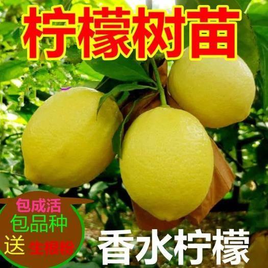 平邑县 当年结果黄柠檬 优力克 青柠檬 澳洲红柠檬苗 盆栽 带土发货