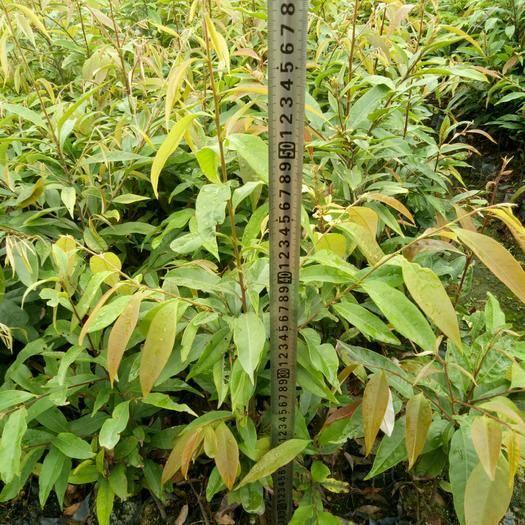 广州增城区红椎种子  红椎苗