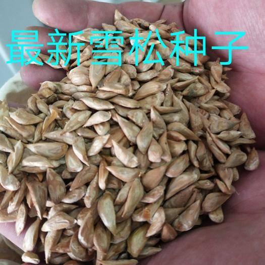寿光市雪松种子  95以上发芽率可到付