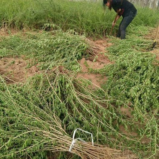 河北省邢台市巨鹿县枸杞芽 人工种植 20cm以上