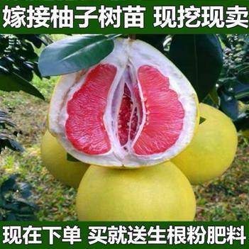 红肉蜜柚苗 柚子树苗盆栽地栽南北方均可种植包成活包结果