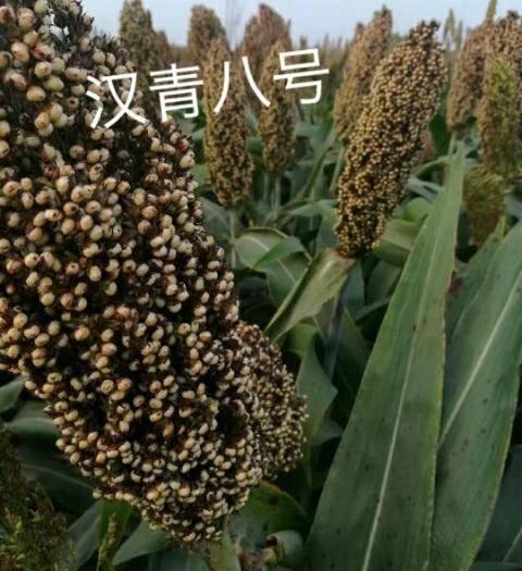 滄州青縣甜高粱種子 雜交種 ≥85%