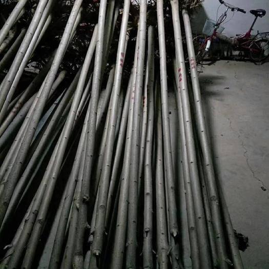 阜陽太和縣黃山欒樹