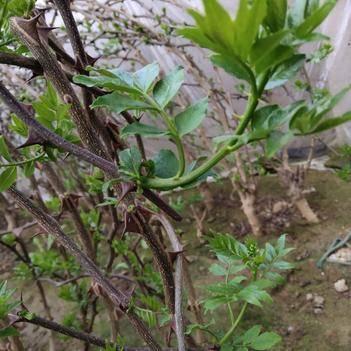 花椒芽 人工种植 5-10cm