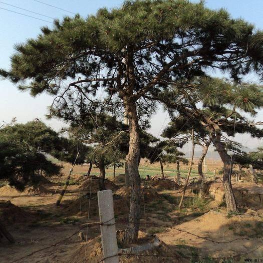 泰安岱岳區造型油松 造型黑油松,樹型優美,價格便宜,有要的抓緊這兩個月搞活動。