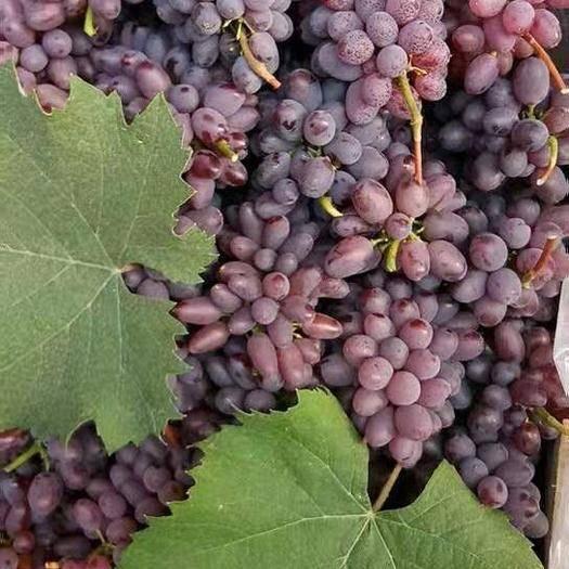 乐亭县茉莉香葡萄 0.8-1斤 5%以下 1次果