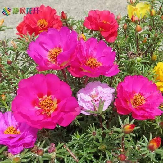 酒泉肃州区太阳花种子