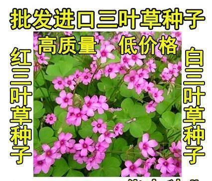 宿迁沭阳县三叶草种子