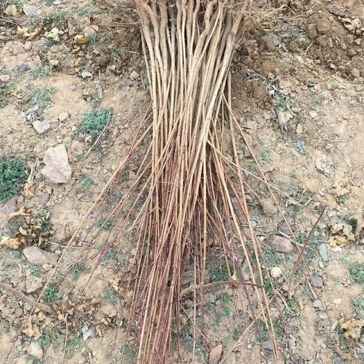 运城绛县五角枫苗 供应各种规格:五角枫小苗,定植树,1--10公分量大处理