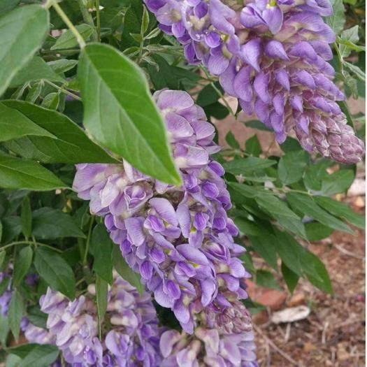 臨沂平邑縣多花紫藤 花苞多,分枝多,適合庭院栽種