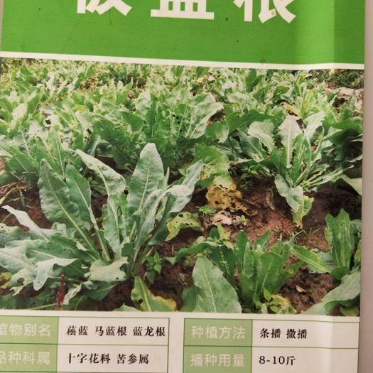 宿迁沭阳县 新鲜板兰根种子板蓝根籽易种植 出芽率高诚信经营板蓝根种