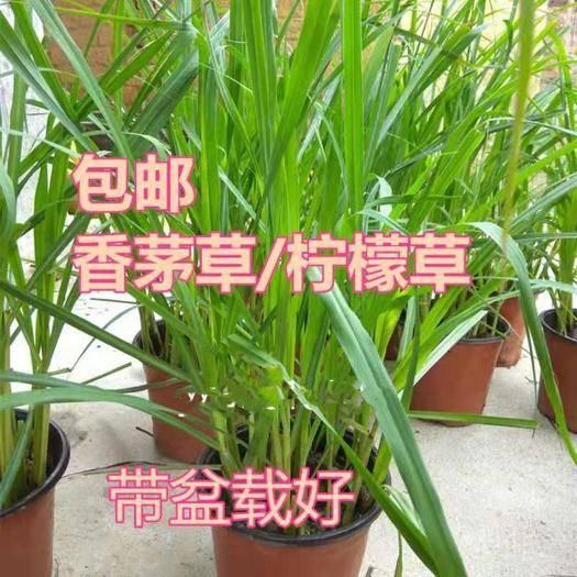 广州增城区香茅草 盆苗