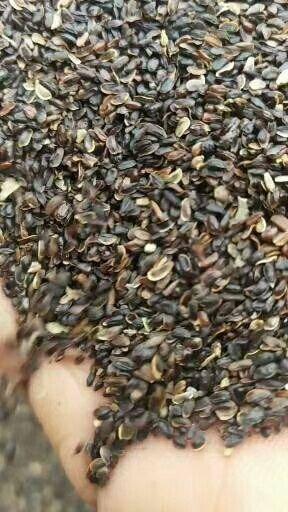 临沂平邑县桔梗种子 出芽率高.2019年秋季新种子,包发芽率。