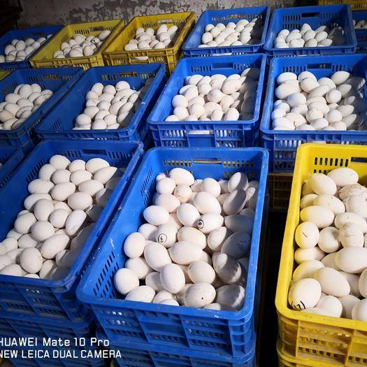 陽江 初生小鵝蛋,雙黃鵝蛋,大鵝蛋