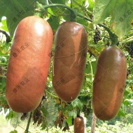 济南槐荫区香如蜜种子 火腿瓜籽 优质水果籽 香水瓜