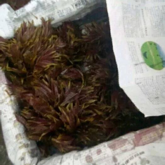 石家庄鹿泉区红油香椿芽 6~9cm