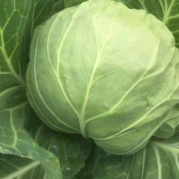 绿甘蓝 1.0~1.5斤