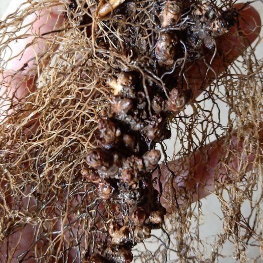 商洛镇安县淫羊藿种苗 一年收2次的淫羊藿品种