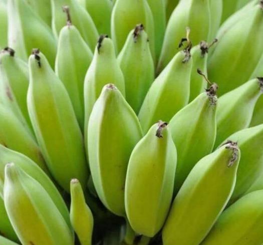 南靖县米蕉  八成熟 九成熟