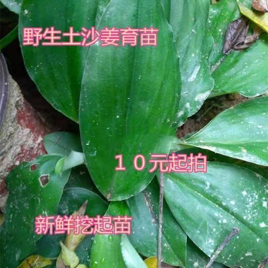 广东省广州市增城区 广东土沙姜育苗沙姜山奈包粽子沙姜鸡小种沙姜