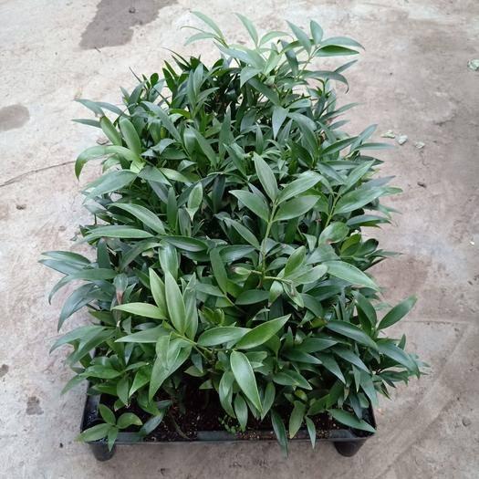 廣州長葉竹柏 小苗10公分左右高 盆栽花卉綠植四季常青
