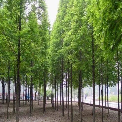 宿遷沭陽縣 工程綠化樹苗水杉樹苗室外水杉小樹苗庭院行道樹河邊護坡苗木