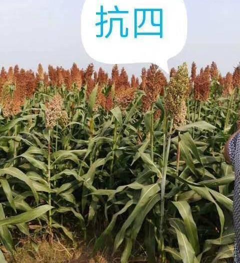 滄州青縣抗四高粱種 雜交種 ≥95%