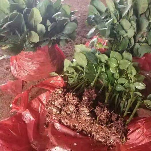 昆明大花月季 玫瑰花苗