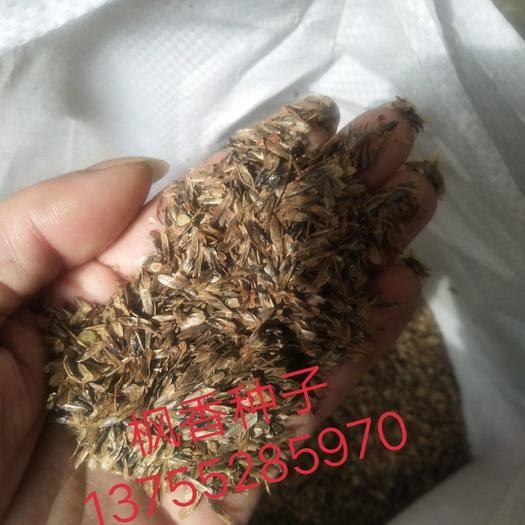 九江枫香种子