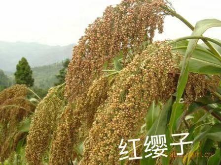 滄州青縣紅纓子高粱種子 河北漢青種業有限公司自繁育品種,種子認證齊全