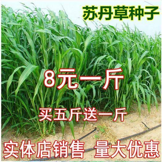 宿迁沭阳县 苏丹草种子