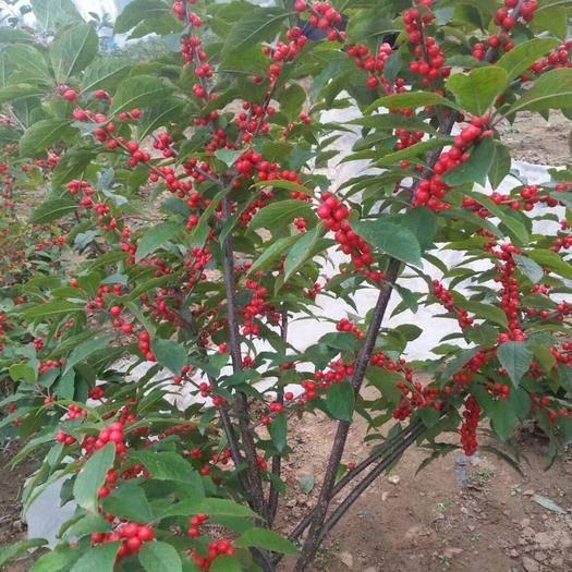 泰安岱岳區北美冬青 基地直供苗盆栽地栽適合南北方種植易管理