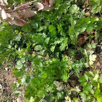 小叶香菜 25~30cm
