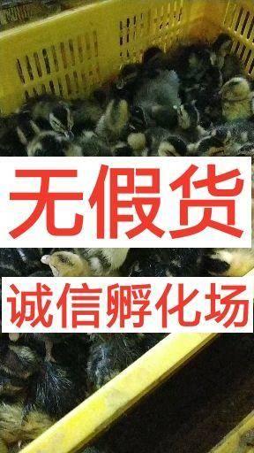 南宁西乡塘区大种杂交鸭苗 诚信孵化场…诚信孵化场…