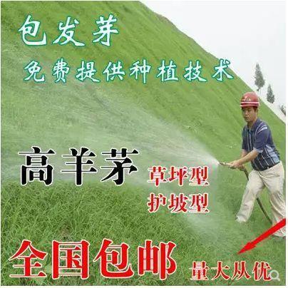 宿迁沭阳县高羊茅种子 草坪种子
