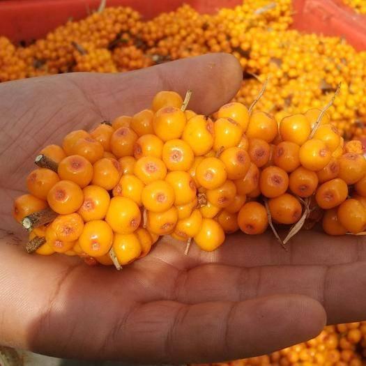 乌鲁木齐沙棘果 橙黄色