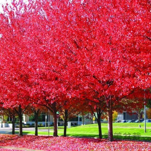 成都金堂县五角枫种子  红枫种子,美国红枫秋火焰红点