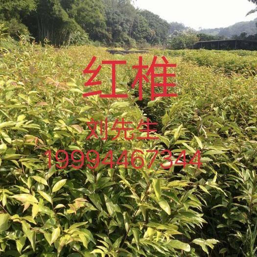 广州黄埔区红椎种子
