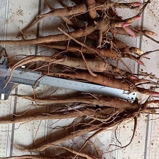 运城绛县白芍种子  优质一年二年三年生白芍苗