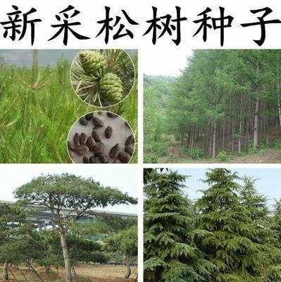 杭州雪松种子  绿化乔木  发芽率97%以上