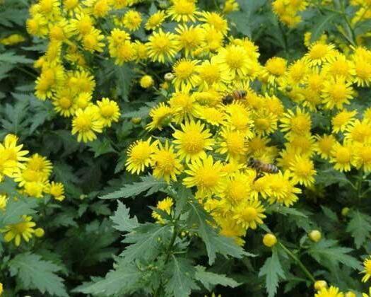 黄石阳新县 野菊花种植是势在必得