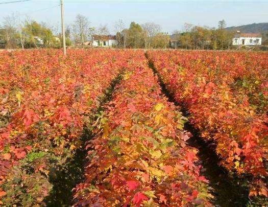 杭州枫树种子  美国红枫  发芽率95%以上