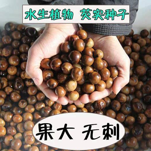 宿迁沭阳县芡实种子 优质大芡实种 鸡头米种子 苏芡种子 高产
