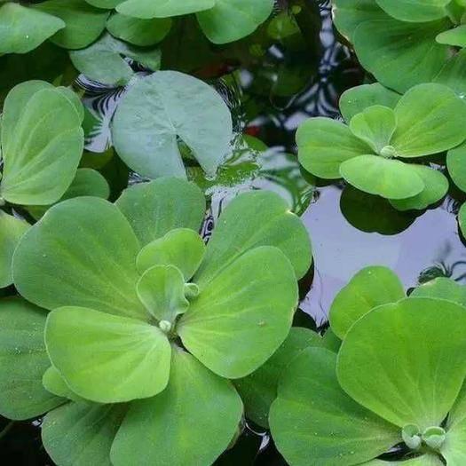 宿遷沭陽縣 水芙蓉 水生植物 水植 改善水質 芙蓉花