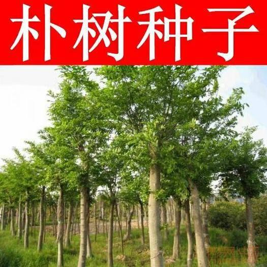 临沂郯城县朴树种子