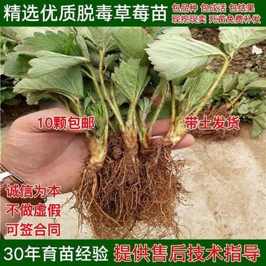 平邑县四季草莓苗 量多优惠 包邮 发货 质量保证